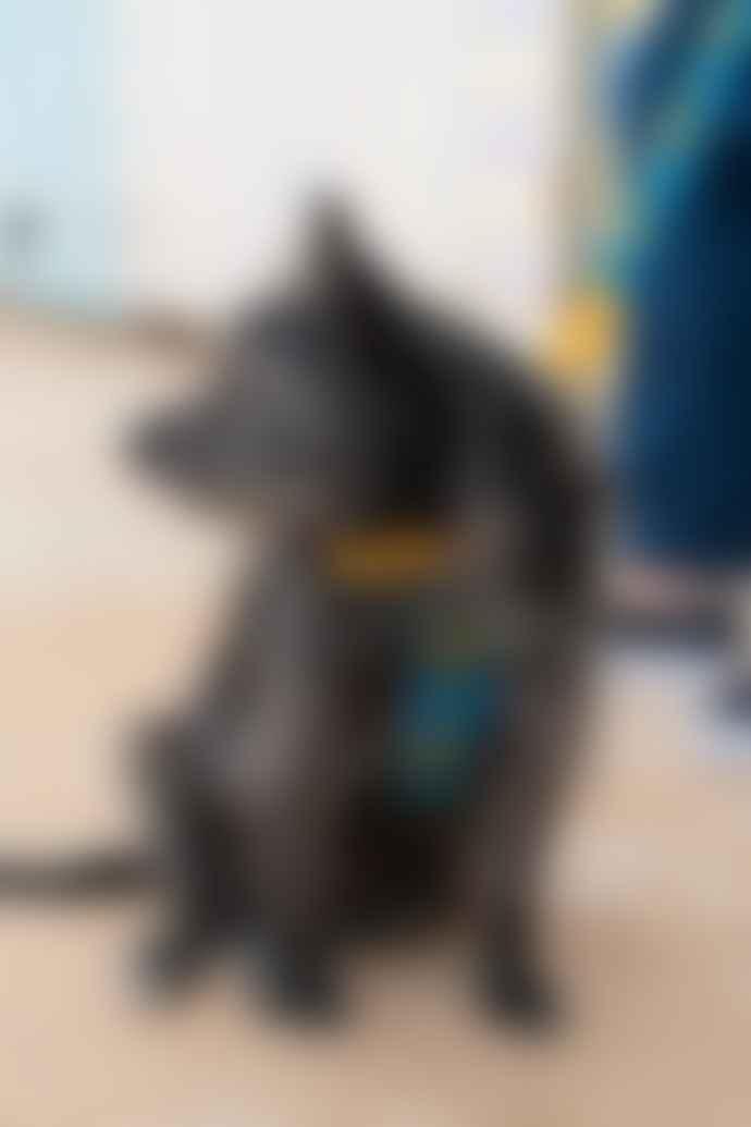 Hiro + Wolf Shuka Blue Dog Harness