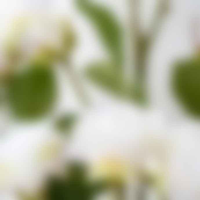 Grand Illusions English White Rose