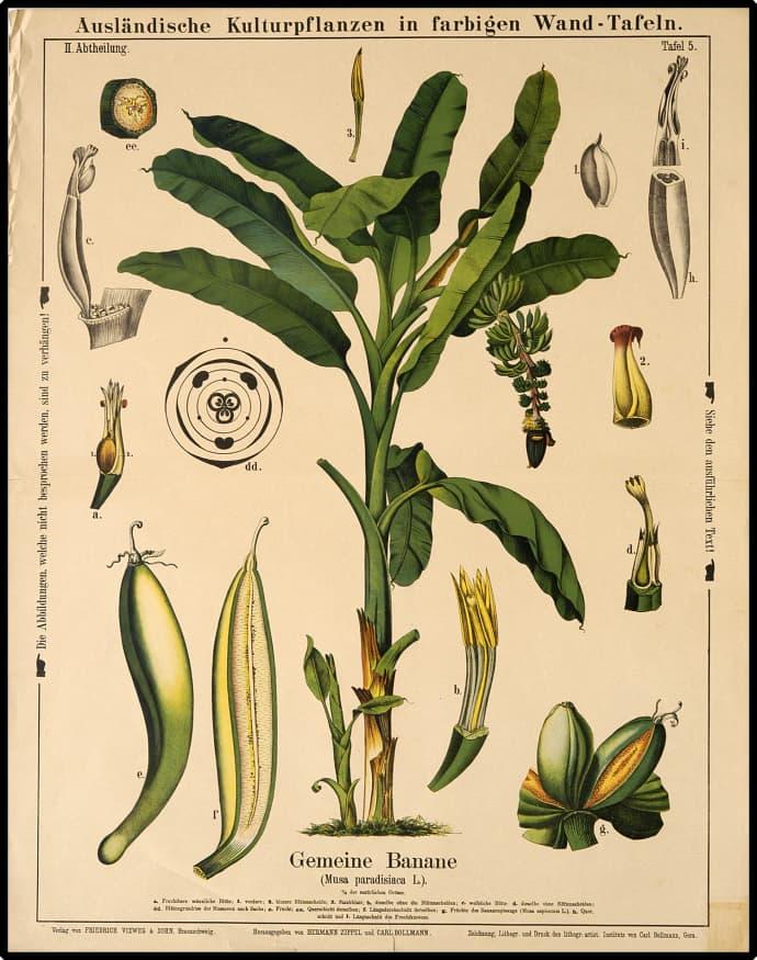 Cuemars Banana Vintage Botanical illustration