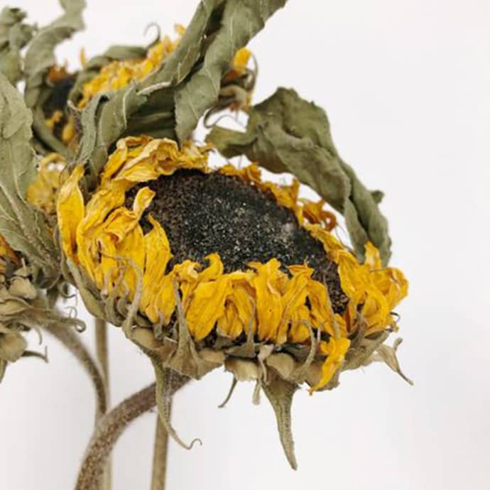 Little Deer Natural Dried Sunflowers Helianthus