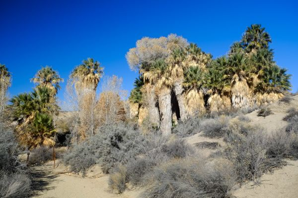 Desert Palm Trees at Cottonwood Springs