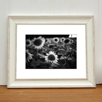Paul CooklinSunflowers, France, Black And White Signed Print