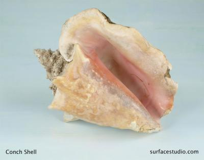 Conch Shell  $45