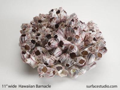 Hawaiian Barnacle $50
