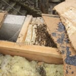 Honey bee cutout – flat roof