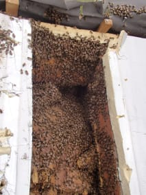 Bruton Somerset bee nest roof cutout 07