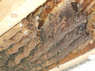 How To Get Rid Of Honey Bees Legally And Responsibly By