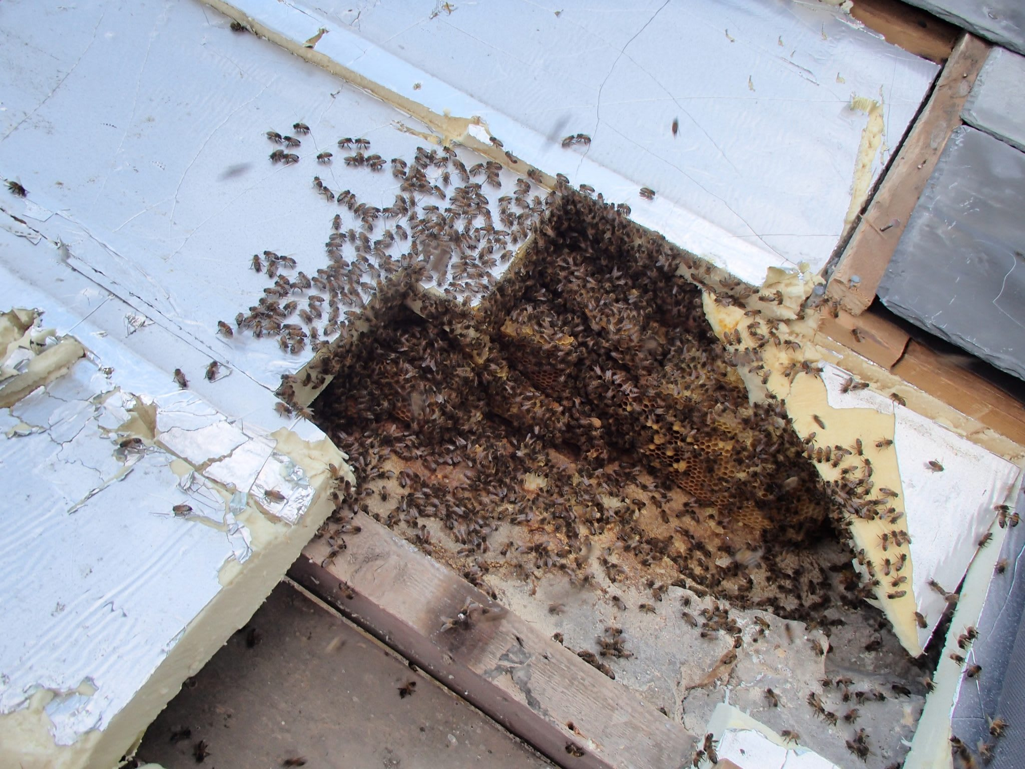 Honey Bee Nest Removal From Roof Near Bruton Somerset
