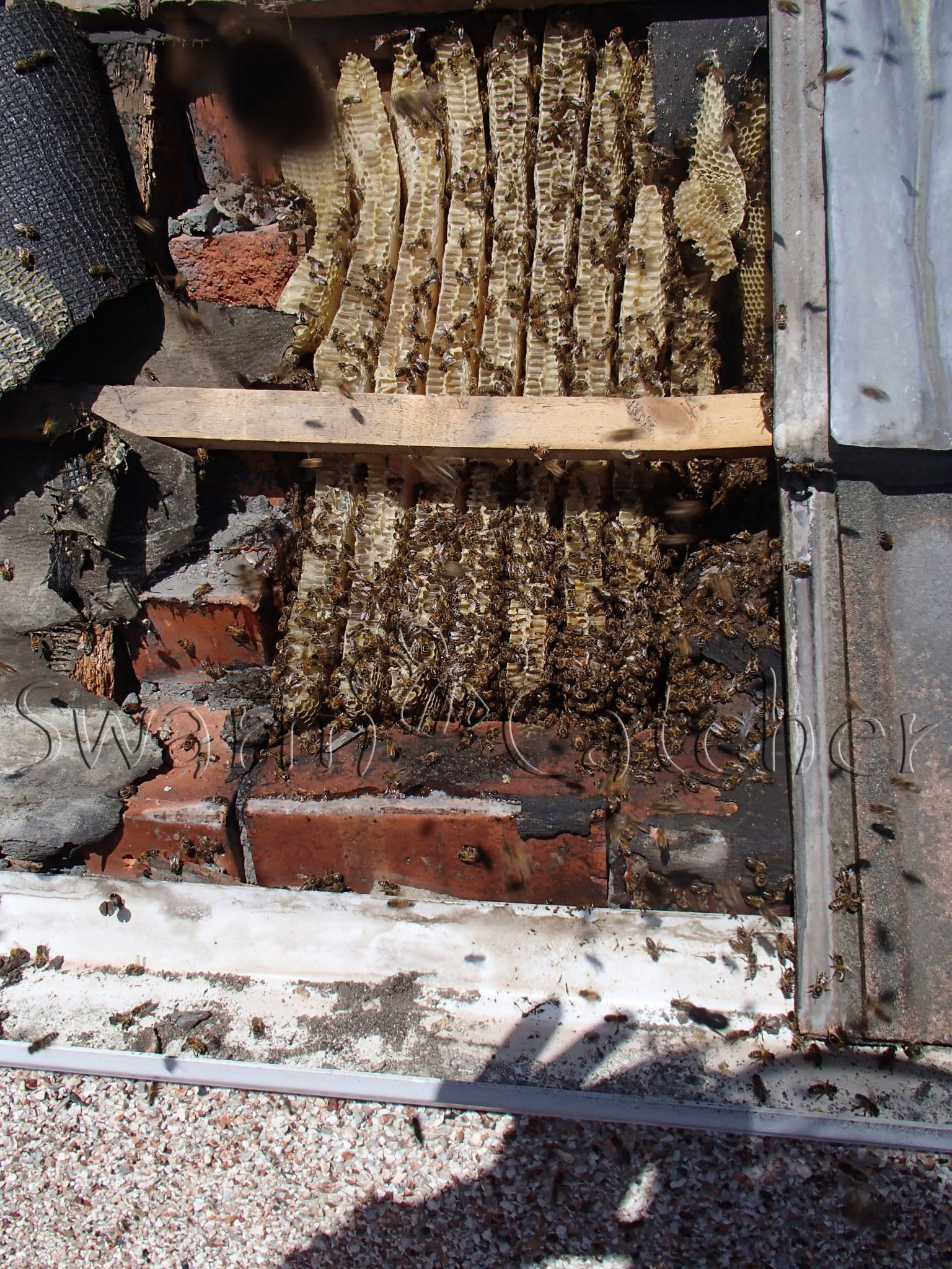 Honey bees in roof - general advice from Swarmcatcher UK
