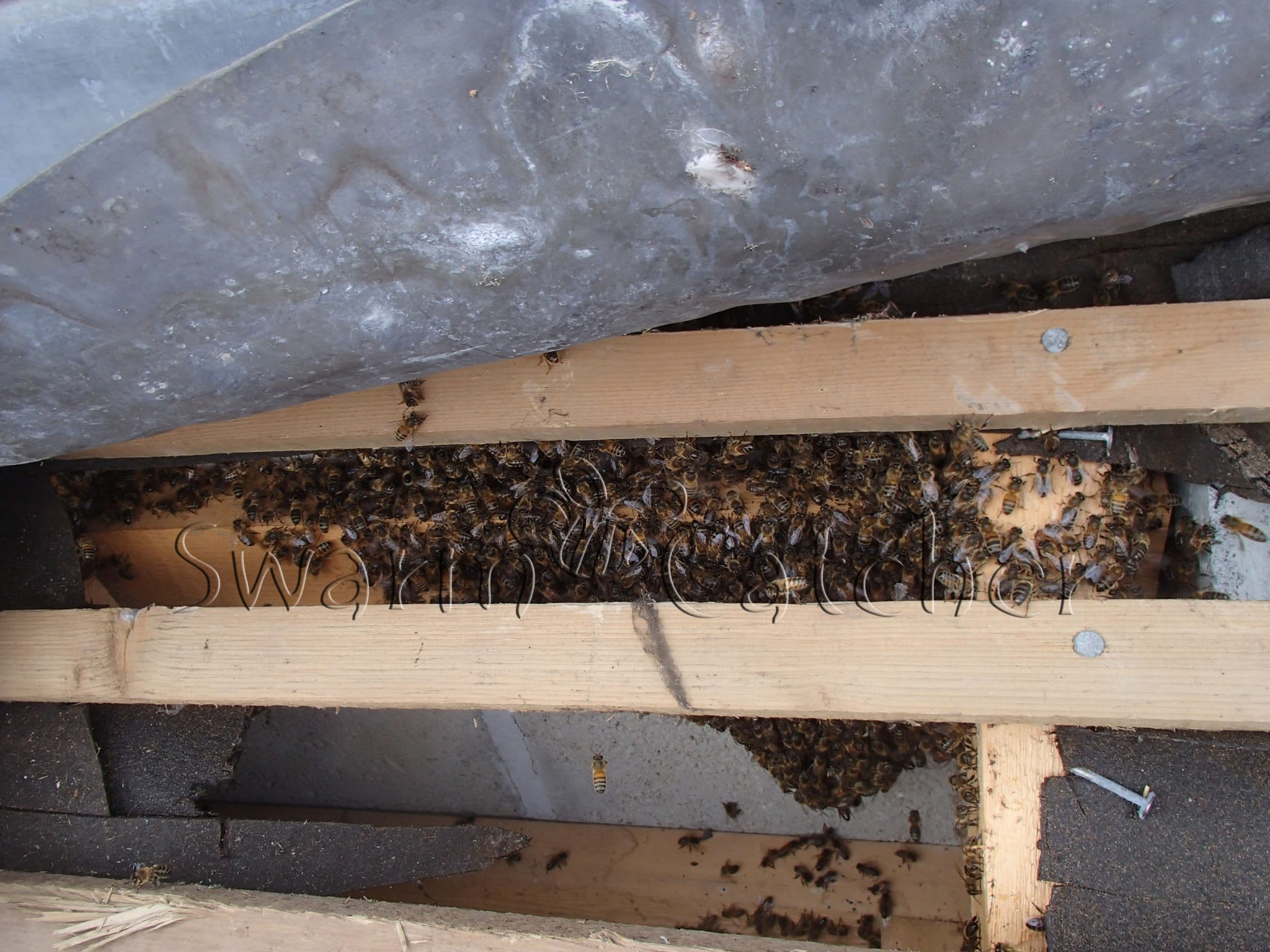 Honey Bees In Roof General Advice From Swarmcatcher Uk