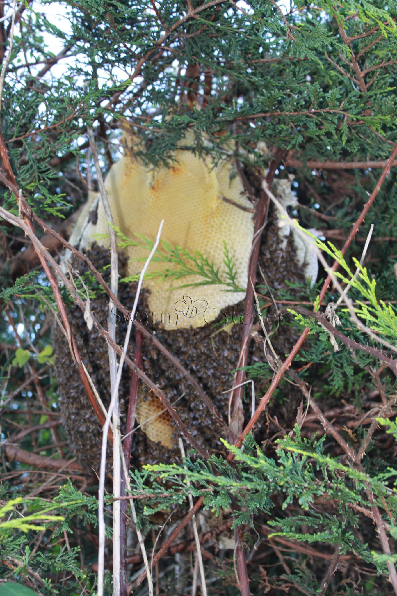 Wild Honey Bee Colony In A Tree In A South Wales Valley At