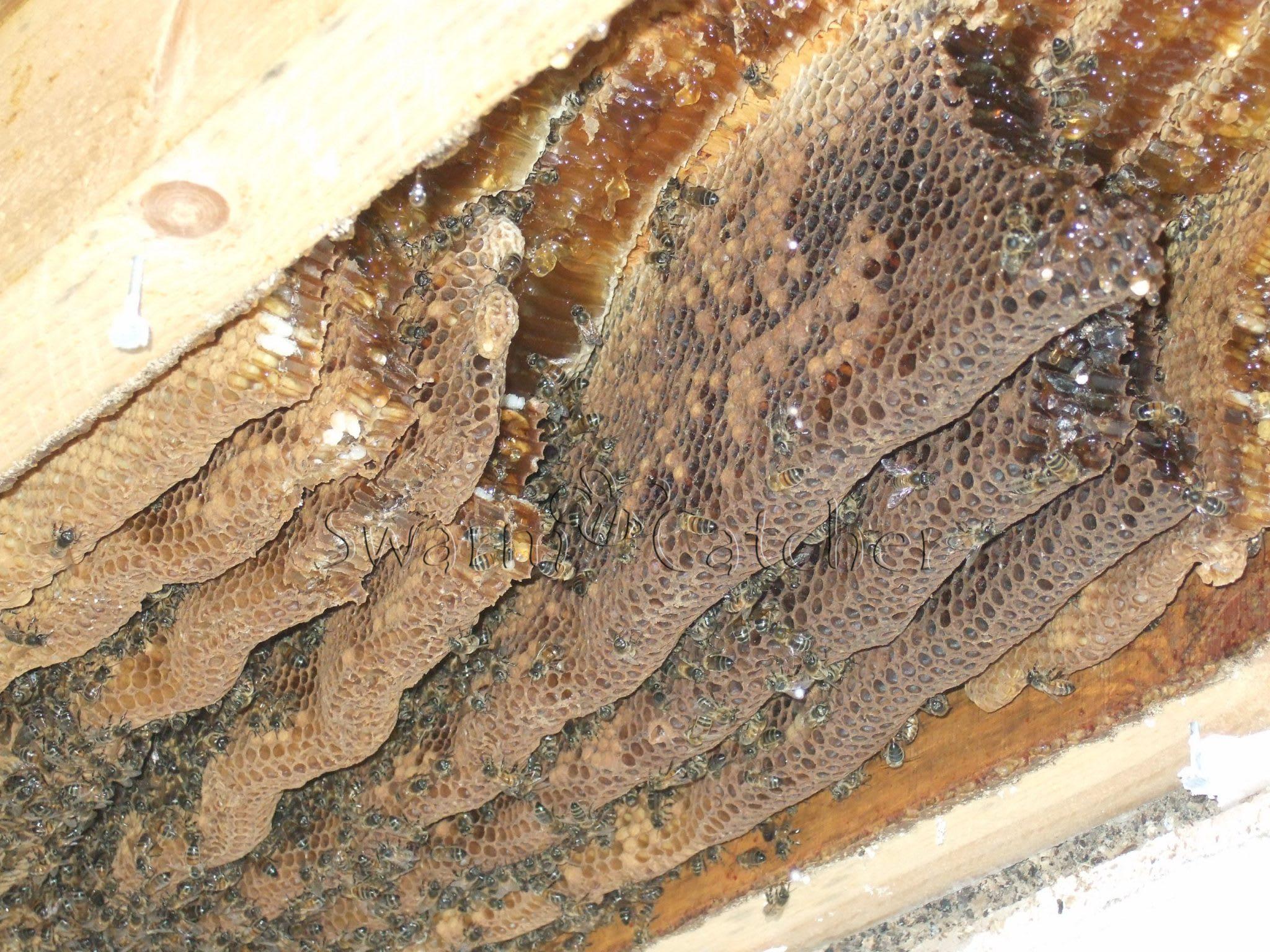 Live Honey Bee Cutout Wenvoe
