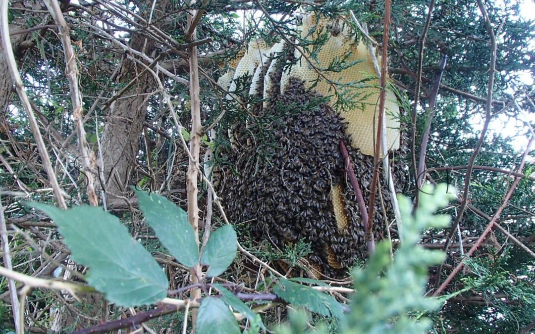 Wild honey bee colony in a tree in a South Wales valley at end of November
