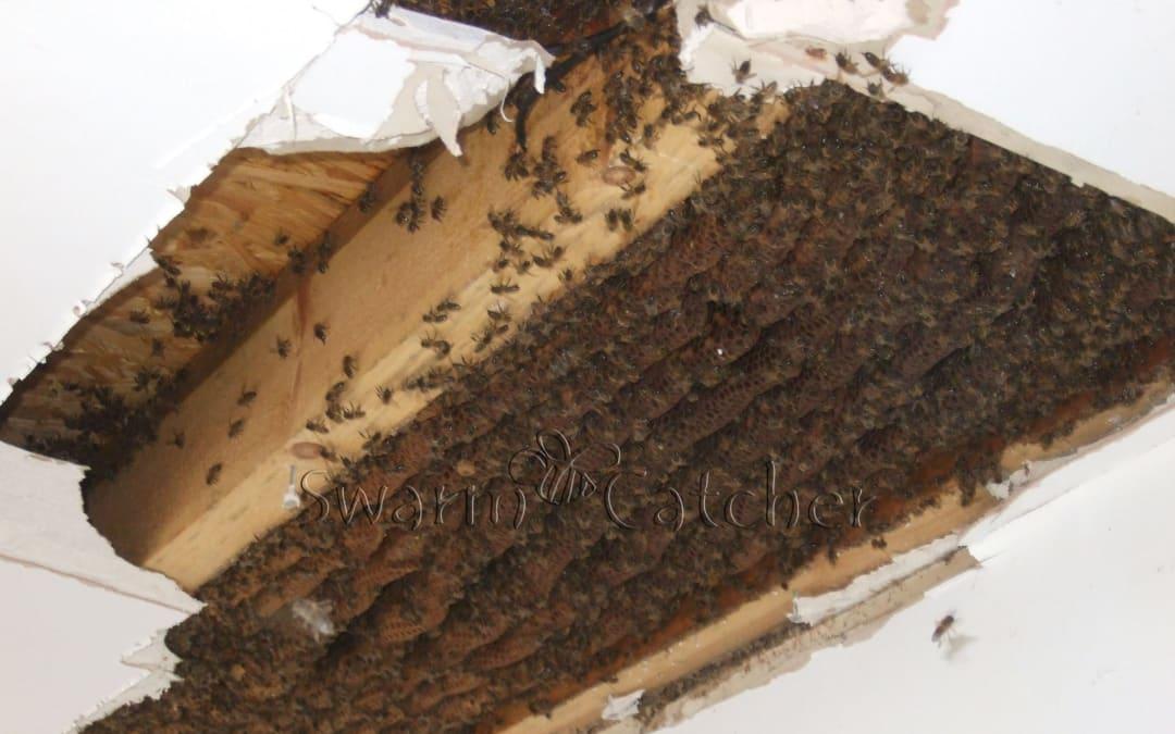 Honey bee cutout – Wenvoe