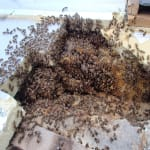 Honey Bee Swarms