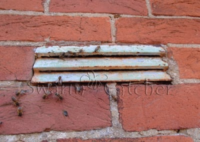 Bees in walls - Honey bee nest behind air brick in wall - newly arrived