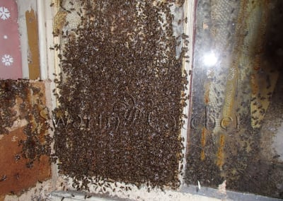 Get rid of honey bees in walls - Honey bee colony between boarded window and block wall