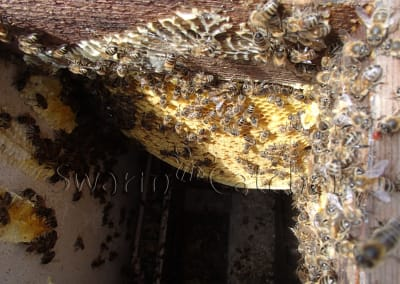 Bees in walls - Honey bee colony behind tiled wall and beneath roof tiles
