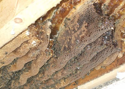 Get rid of honey bees in between ceiling and flat roof - Bristol