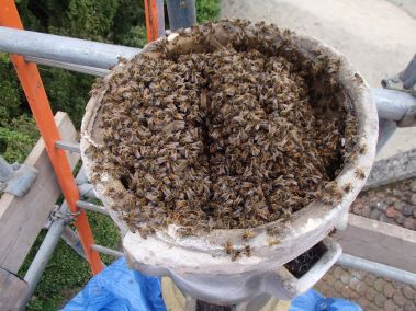 How to Get Rid of honey bees legally and responsibly - by