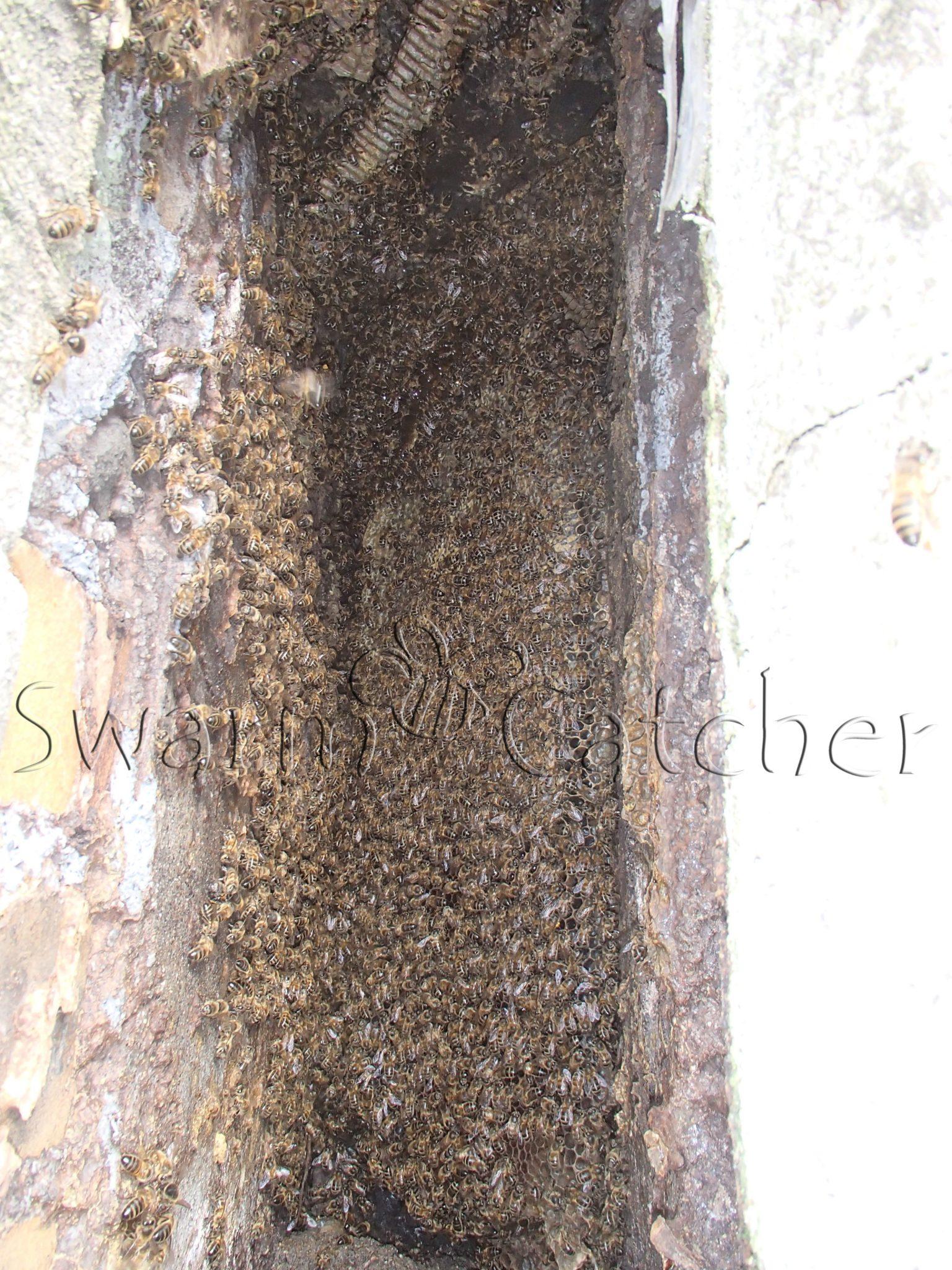 Bees in walls - Honey bee colony in church wall window slot