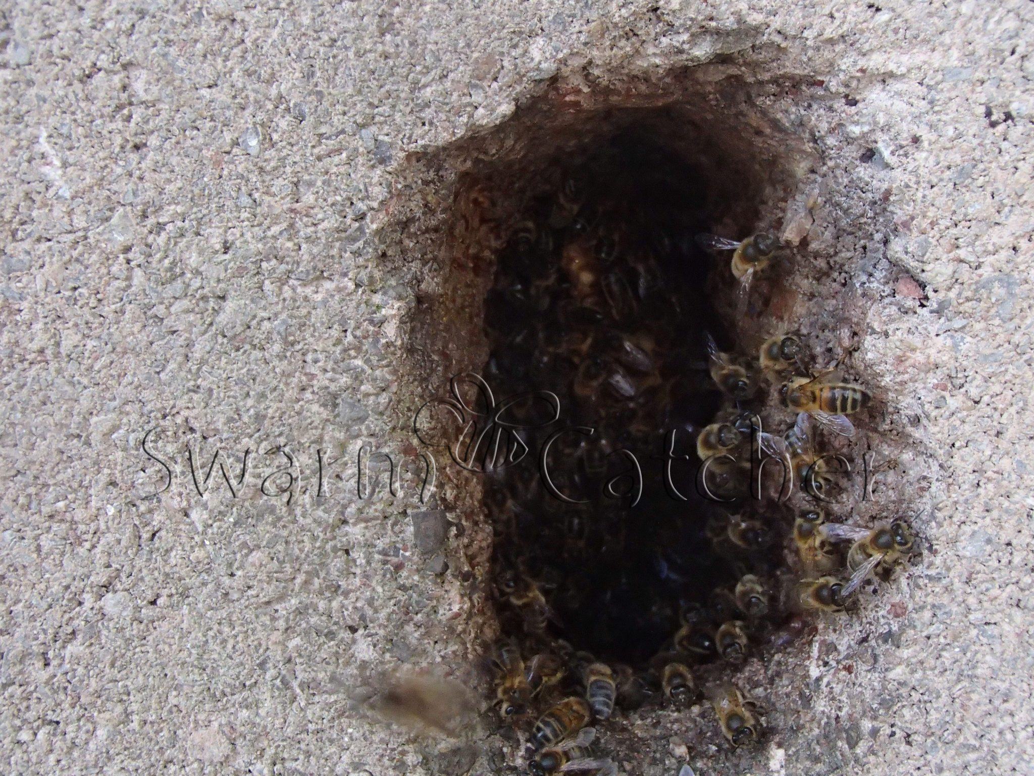 Bees in walls - Entrance to honey bee nest in blocked up window wall