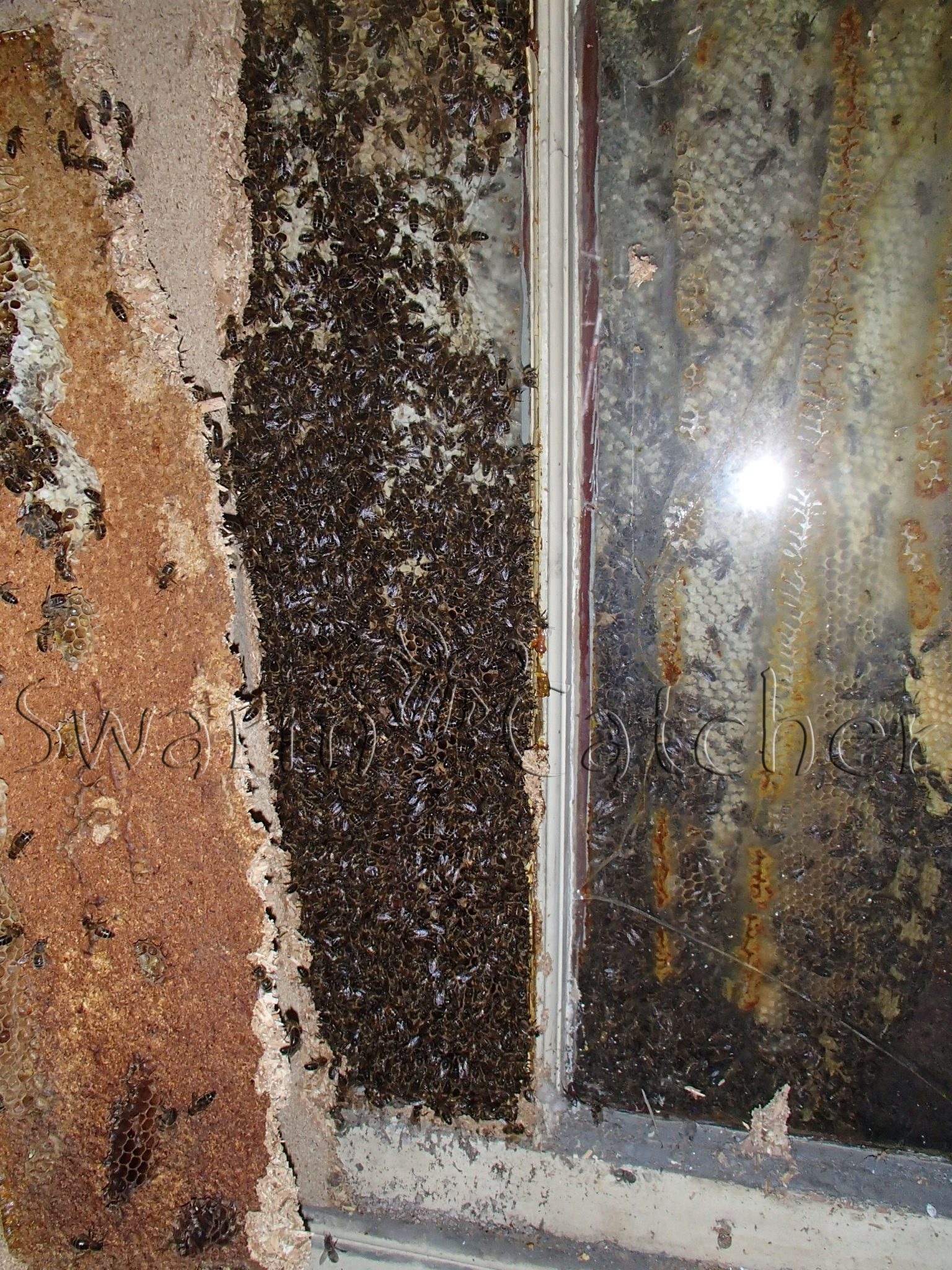Honey bee removal from from blocked up window