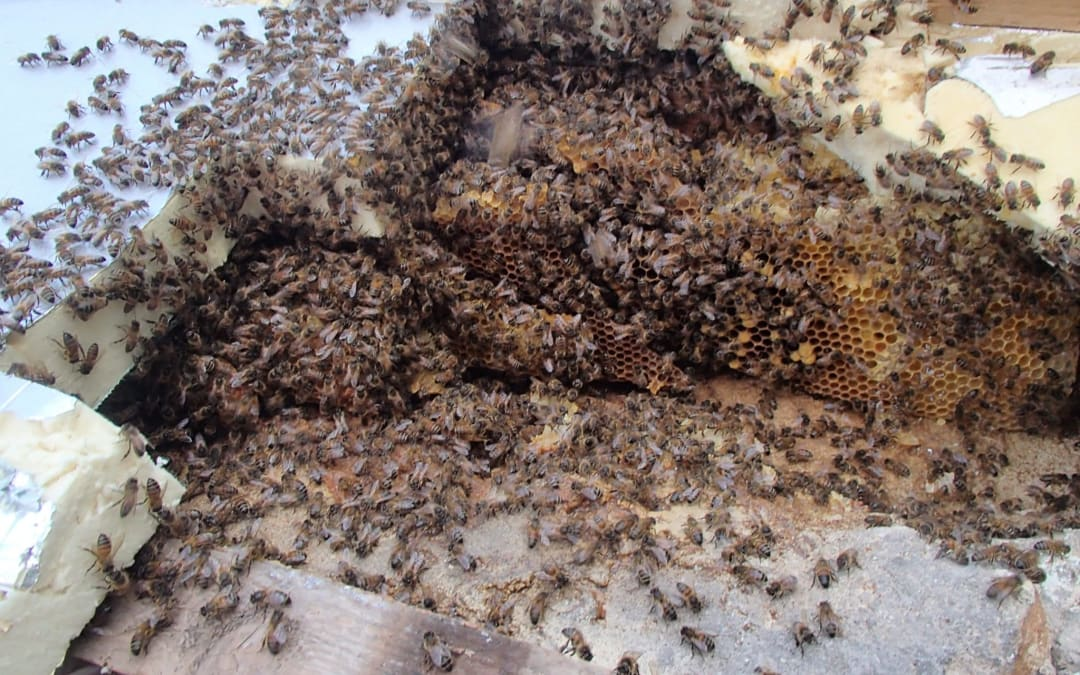 Honey bee nest removal from roof near Bruton, Somerset