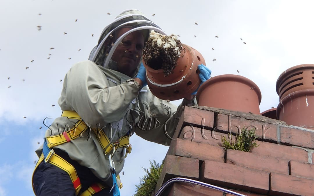 Honey bee cutout from chimney in Llandaff