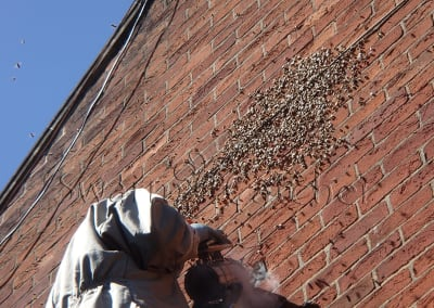 Bees in walls - Honey bee swarm smoked after arriving 3 days before - successfully