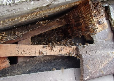 Bees in walls - Honey bee nest behind tiled wall moving into roof