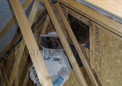 Bees in walls - Honeybee colony in loft wall - Barry