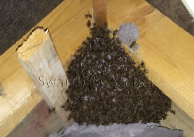 Honey bee nest in roof - Wales and England