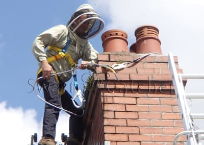 Removing and relocating honey bees from a chimney