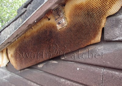 Bees in walls - Honey bee nest behind wall fascia