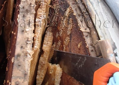 feral honey bee nest removal