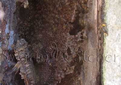 Bees in walls - Honeybee colony in church wall window slot