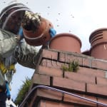 Honey bee cutout from chimney in Llandaff