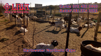 swiftvee livestock auction listing Weekly auctions at Liba