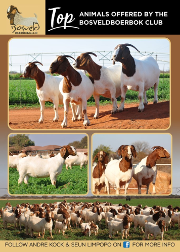 livestock auction listing Boerbok Club Show Auction
