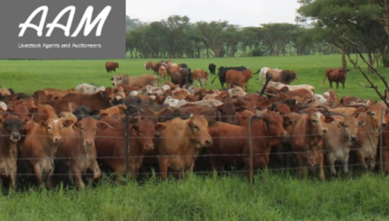 livestock auction listing Dundee Auction
