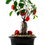 chilli pepper bonsai