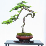 bonsai forme du lettré