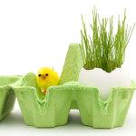 egg shell plant