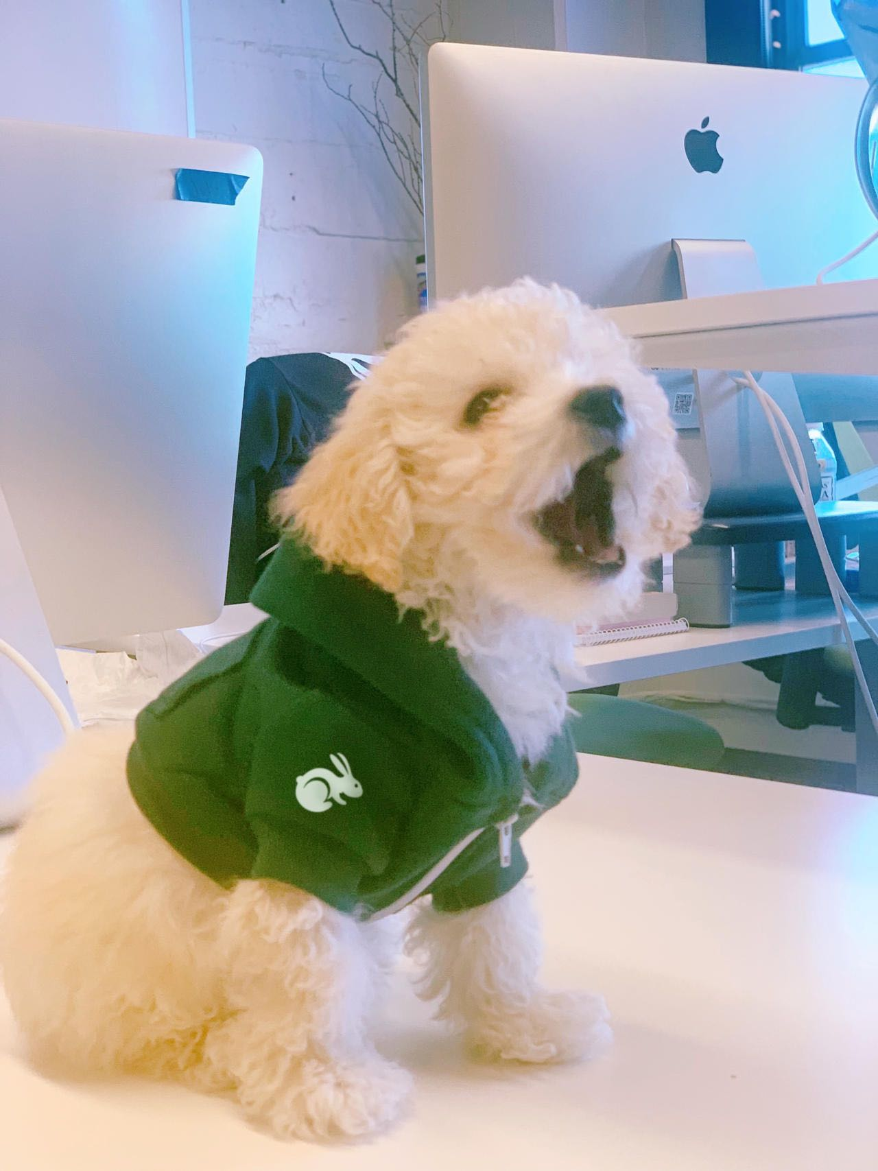 A small white dog wearing a green hoodie with the TaskRabbit logo sitting on an employee's desk posing for a photo with its mouth open.