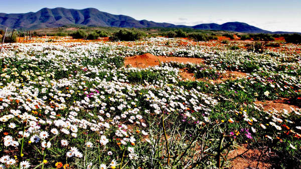 Flowers knersvlakte namaqualand karoo caxapu