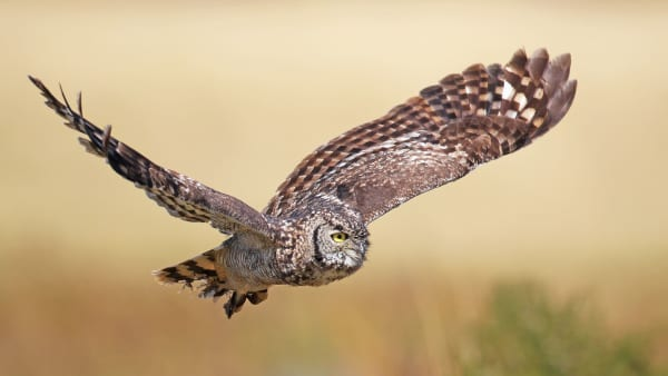 Spotted eagle owl ni74t9