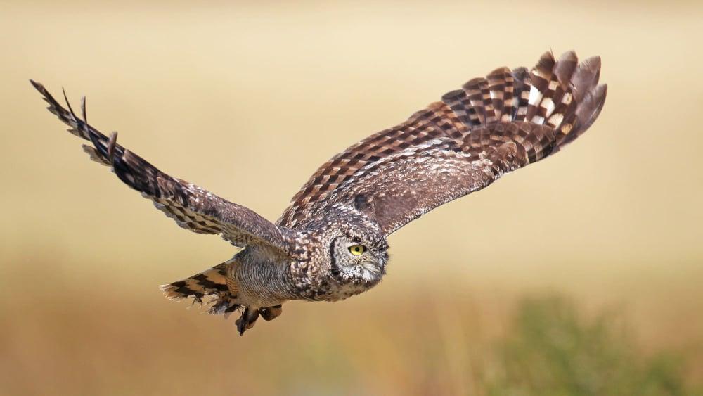 Spotted eagle owl ni74t9
