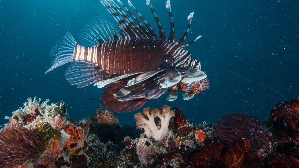 Lionfish pterois volitans swimming across a sponge and soft coral encrusted bommie on a coral reef in the indian ocean zanzibar yu65kr