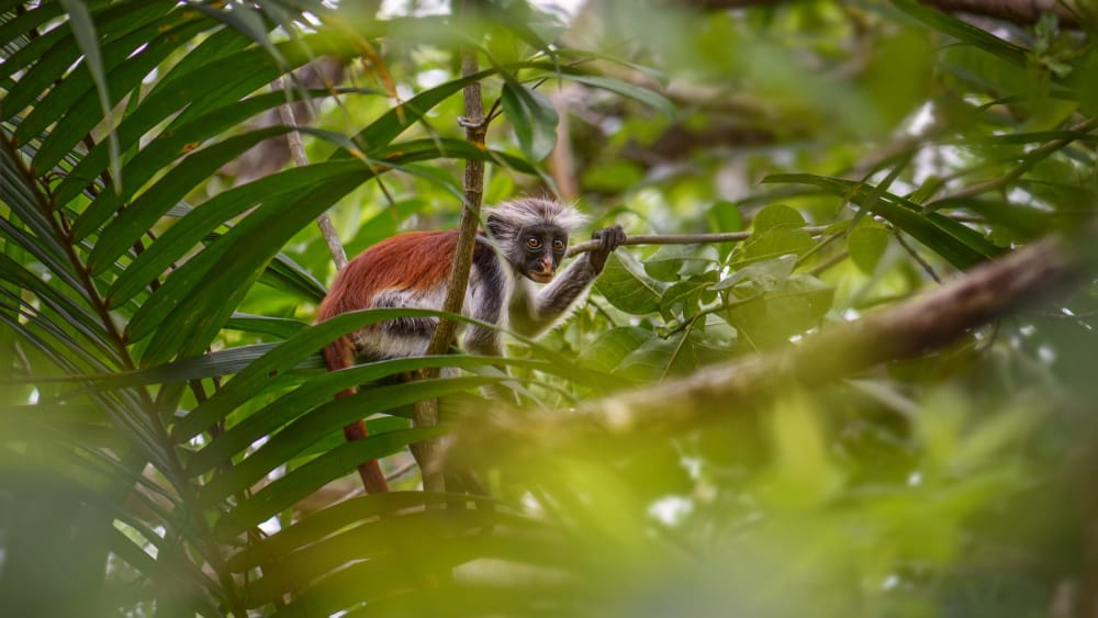 Zanzibar red colobus jmztz2